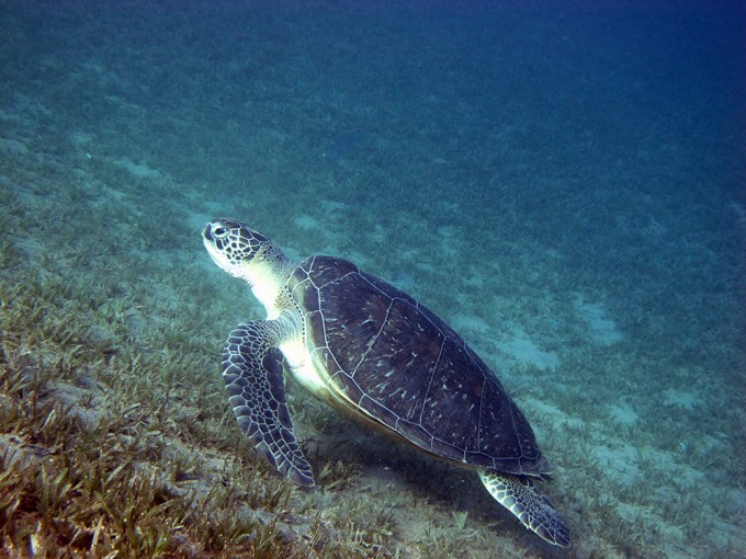 Kā'anapali Beach Sea Turtle Small