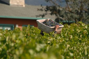 Harvest at Napa Valley Vineyard