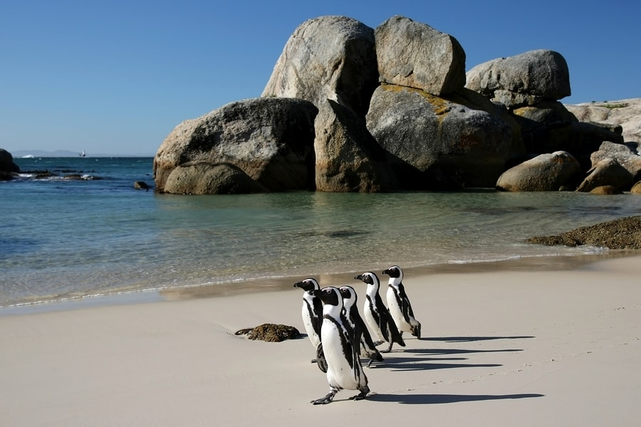 African Penguins at Cape Boulders Beach