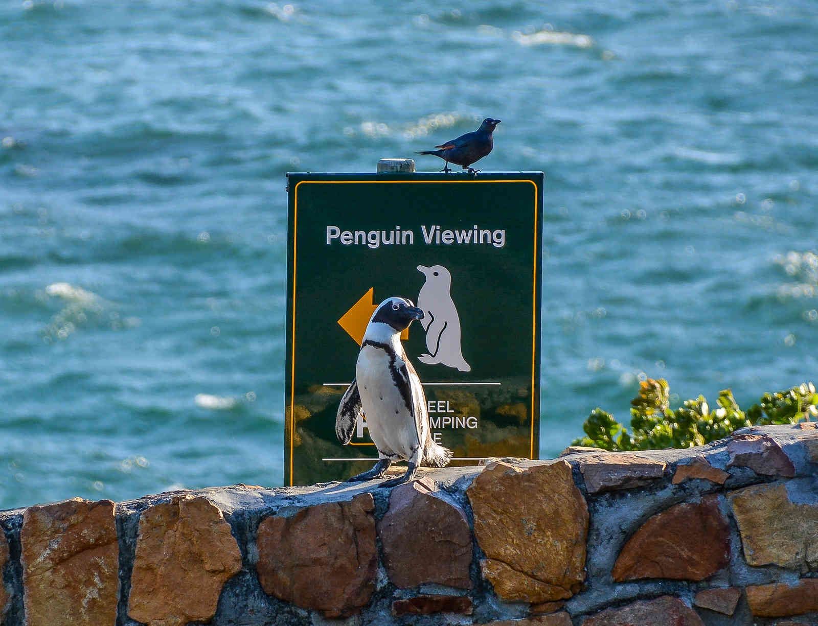 Boulders Penguin Colony Simon's Town