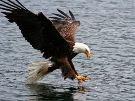 Clayoquot bald eagle fish grab