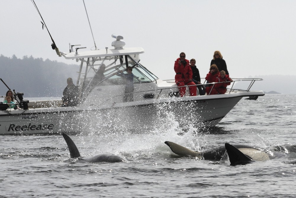 Clayoquot orca whale watching