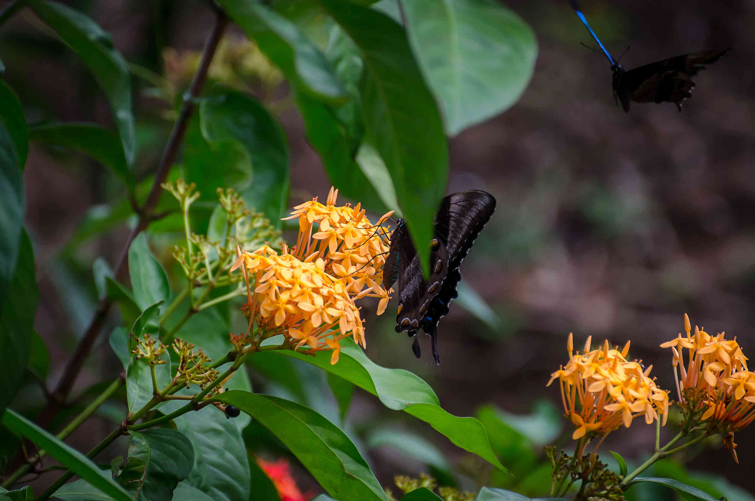 Ulysses Butterfly - Daintree Forest