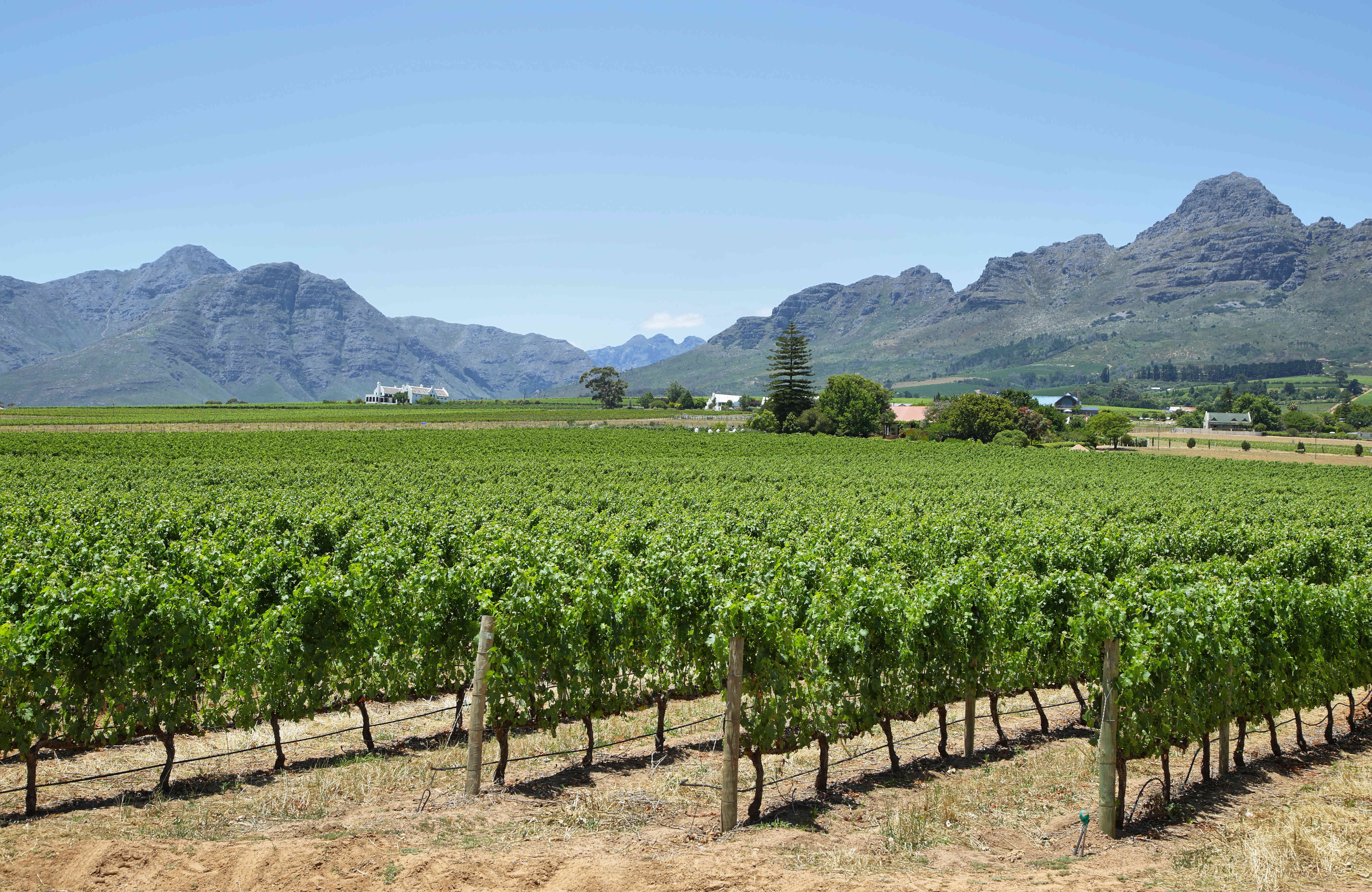 Vineyard near Franschhoek